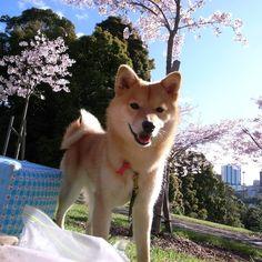 """Hanami"" - flower viewing"