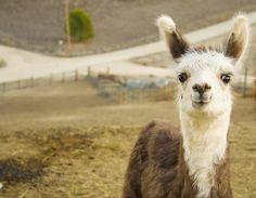 Adorable baby llama, he looks like he's smiling :)
