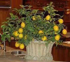 How To Grow A Dwarf Lemon Tree Indoors