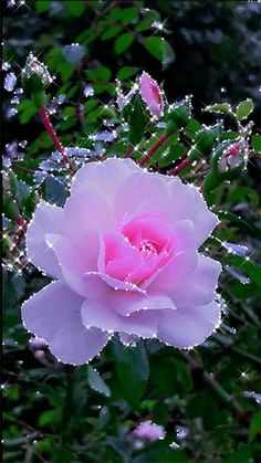 """""""I am a rose…"""" 1 – """"Solomons Song of Songs"""" Beautiful pink rose. Beautiful Flowers Images, Beautiful Nature Pictures, Beautiful Flowers Wallpapers, Beautiful Flowers Garden, Beautiful Gif, Flower Images, Flower Pictures, Exotic Flowers, Amazing Flowers"""