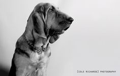 Black and White Bloodhound in the Studio | by gacrichards