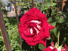 Rosa, roses, garden,