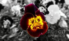 Black and white photo with Garden Pansy flower in center.