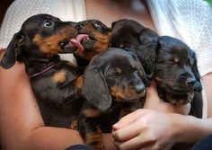 Arms full of dachshunds...imagine the puppy breath! Photo credit and link to @longlongranch
