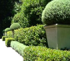 Hedges enhancing the Topiary balls in pots
