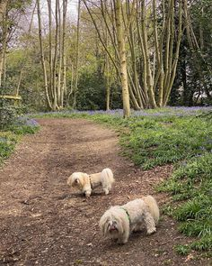 #lhasaapso #dogsinparks #bluebells Lhasa Apso, Park, Dogs, Animals, Instagram, Animales, Animaux, Pet Dogs, Parks