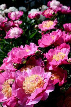 Giant Pink Peony Flowers