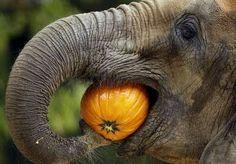 What Do Elephants Eat | What do Elephants Eat?