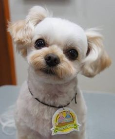 トリマーのお姉さんに撮って頂いた写真 可愛い お耳の毛伸ばし中 #cute #cutedog #cutedogs #dog #dogs #dogstagram #dogsofinstagram #east_dog_japan #instadog #love #lovedogs #mixdog #pet #petsagram #toypoodle #todayswanko #チワワ#トイプードル #チワプー #愛犬 #ミックス犬同好会 #ミックス犬#ふわもこ部 #犬バカ部#わんこ  by sophy888