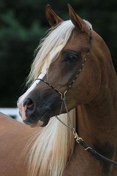 Chocolate Palomino Arabian!