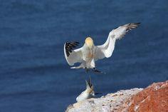 Northern gannet | Datei:Northern-Gannet.jpg – Wikipedia