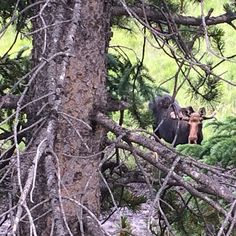 Colorado moose looking at me whilst eating grass. And Pine tree. by bigboxcar