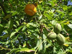 An agile Mr Angry Orange  attempts conversation with taciturn walnuts.