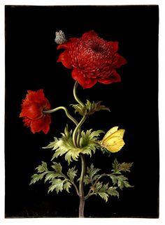 DIETZSCH, BARBARA REGINA. An original watercolour of a Poppy Anemone with 2 butterflies, a Brimstone and a Magpie Moth.