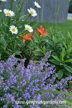 Summer Flower Garden - Becky Shasta Daisy and Walker's Low Catmint