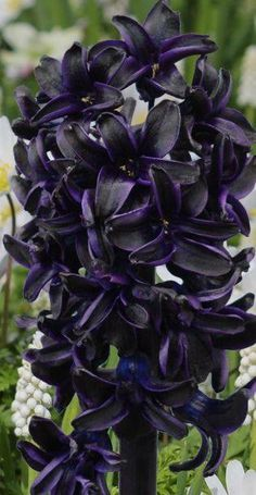 Hyacinth Dark Dimension in deep violet! Gothic garden chic - My Secret Garden Dark Flowers, Bulb Flowers, Unique Flowers, Purple Flowers, Beautiful Flowers, Gothic Flowers, Moon Garden, Dream Garden, Gothic Garden