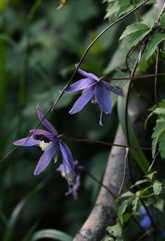 plants for florescence_may flowers: Clematis alpina, Austrian clematis, Clématite des Alpes, Alpen-Waldrebe. *photo 08 may 2015