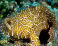 """Psychedelic Frogfish - photo from Wikimedia Commons, via man;  """"The psychedelic frogfish lives in the ocean near Bali and Indonesia and was discovered in 1999. It's a small creature, growing to just 6 inches long.""""  It has a flat face and swirling patterns of yellow, white, and orange cover its skin. The patterns are unique to each fish, just as fingerprints are to humans.  This fish lives in shallow waters close to the the shores of Ambon Island."""
