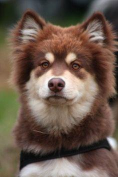 Caractèristiques physiques du Chien finnois de Laponie Le Chien finnois de Laponie est un chien de taille moyenne, au corps vigoureux, légèrement plus long que haut. La tête présente des traits rob...