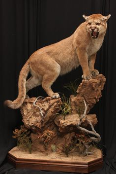 Image result for how to look all around a picture of a mountain lion ready to pounce