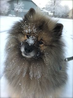 snow day ( Keeshond )