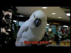 Funny Rude Talking Parrot - Funny Cockatoo - YouTube