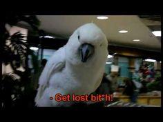 Funny Rude Talking Parrot - Funny Cockatoo