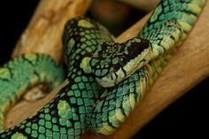 [trigonocephalus] Two beautiful snakes Snake Photos, Pit Viper, Snake Venom, Rare Species, Endangered Species, Snake Skin Dress, Beautiful Snakes, Reptiles And Amphibians, Mammals