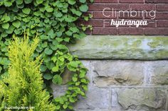 Climbing Hydrangea - one of my favorite climbing plants! I'd love to see that with a mix of clematis in the hydrangea.what a wonderful support climbing hydrangea would be for my favorite climber. Shade Garden, Garden Plants, Outdoor Plants, Outdoor Gardens, Climbing Hydrangea, Hydrangea Shade, Hydrangea Garden, Hydrangeas, Dream Garden