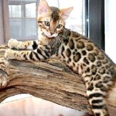 bengal cat, so cute! they make good pets! Look like a house cat, acts like a house cat, with leopard coloring. - Tap the link now to see all of our cool cat collections! I Love Cats, Crazy Cats, Cool Cats, Hate Cats, Pretty Cats, Beautiful Cats, Cute Kittens, Cats And Kittens, Ragdoll Kittens