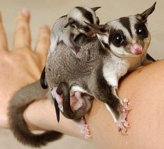 Sugar Glider w/baby. A marsupial from the Australia/New Guinea area. They can be kept as pets, but this is not legal in some states of the US