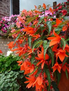 Shade Flowers, Bulb Flowers, Shade Plants, Orange Flowers, Container Flowers, Container Plants, Container Gardening, Begonia, Front Porch Flowers