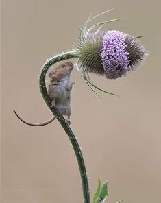 Cute little harvest mouse climbing a thistle stalk. Cute little harvest mouse climbing a thistle stalk. Cute Creatures, Beautiful Creatures, Animals Beautiful, Nature Animals, Animals And Pets, Nature Nature, Cute Baby Animals, Funny Animals, Harvest Mouse