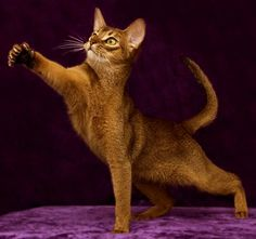 Playful Abyssinian cat