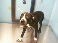 Houston  02/11/14 LAURENCE - ID#A1214517 My name is LAURENCE. I am a male, black and white American Bulldog mix.  The shelter staff think I am about 1...