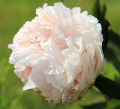 Solange - Herbaceous Peony/ Paeonia