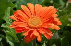 Gerbera daisy flowers are spectacularly colorful but tender. Tropical flowers of South Africa, they make for striking accents in annual beds up North. Orange Flowers, Tropical Flowers, Colorful Flowers, Beautiful Flowers, Daisy Flowers, Cut Flowers, Growing Flowers, Growing Plants, Beautiful Gardens