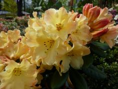 Rhododendron Nancy Evans. One of my absolute favorites.  Compact and can tolerate sun ,