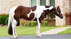 All The Pretty Horses, Beautiful Horses, Palomino, Appaloosa, Cheval Pie, Western Pleasure Horses, American Paint Horse, Paint Horses, Equestrian Problems
