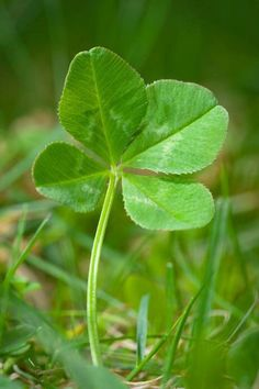 Looking over the Four Leaf Clover! (want clover for the front lawn) Clover Plant, Four Leaf Clover, Leave In, Irish Eyes Are Smiling, Four Leaves, Luck Of The Irish, Wonders Of The World, Mother Nature, Beautiful Flowers
