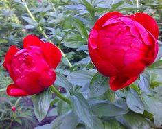Peony Alexander Woolcott - Early Hybrid, semi-double, red, fire-engine crimson, large flowers, strong stems, [Albiflora X Lobota] (Saunders, 1941) - www.peonyshop.com