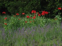 Poppies and Lavender in bloom at Stoney Hollow Lavender's gardens, summer 2014.