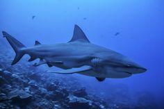 Bull Shark Beqa Island Fiji by Bubbles & Footprints  on 500px
