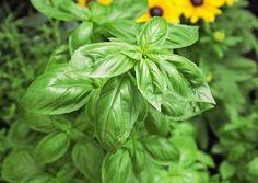 Basilikan kasvatus vaatii lämpöä, kosteutta ja kuohkean ravinteikkaan maan. Lue Viherpihan kasvatusopas.