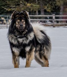 untitled of - Eurasier - Hunde Cute Dogs Breeds, Large Dog Breeds, Cute Dogs And Puppies, Doggies, Fluffy Dog Breeds, Dalmatian Puppies, Puppy Breeds, Huge Dogs, Giant Dogs