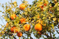 sweet orange clementines growing on tree