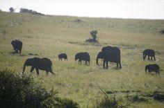 Loxodonta Africana, Maasai Mara National Reserve (January 2014) www.sunworldsafaris.com