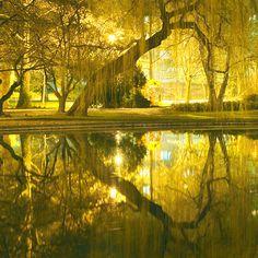 Golden Weeping Willow, Sweden