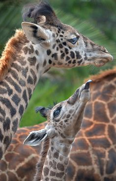 Giraffes. BelAfrique your personal travel planner - www.BelAfrique.com
