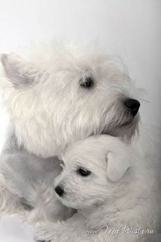 Westies -- West Highland White Terriers at six weeks. Animal Gato, Mundo Animal, Cute Puppies, Dogs And Puppies, Fluffy Puppies, Pet Dogs, Dog Cat, Chihuahua Dogs, Westie Dog
